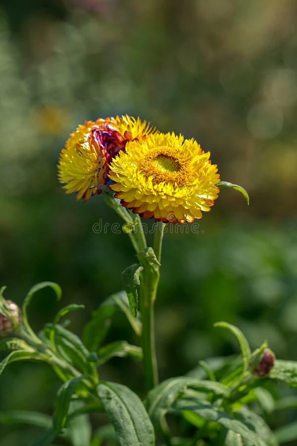 Detalj av den gula eviga blomman eller Strawflower eller gemensam tusensköna & x28; Xerochrysum Bracteatum& x29; med oskarp bakgr fotografering för bildbyråer