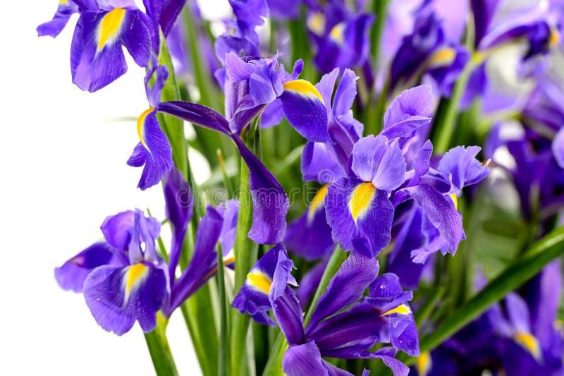 Detalj av den purpurfärgade irisvårblomman arkivbild