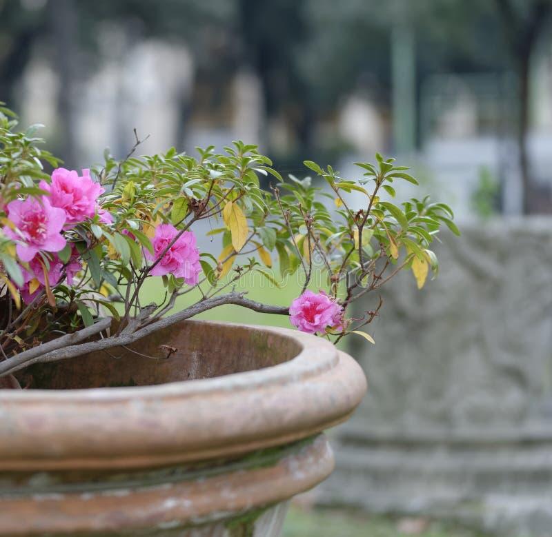 detalj av den rosa azalean arkivbild