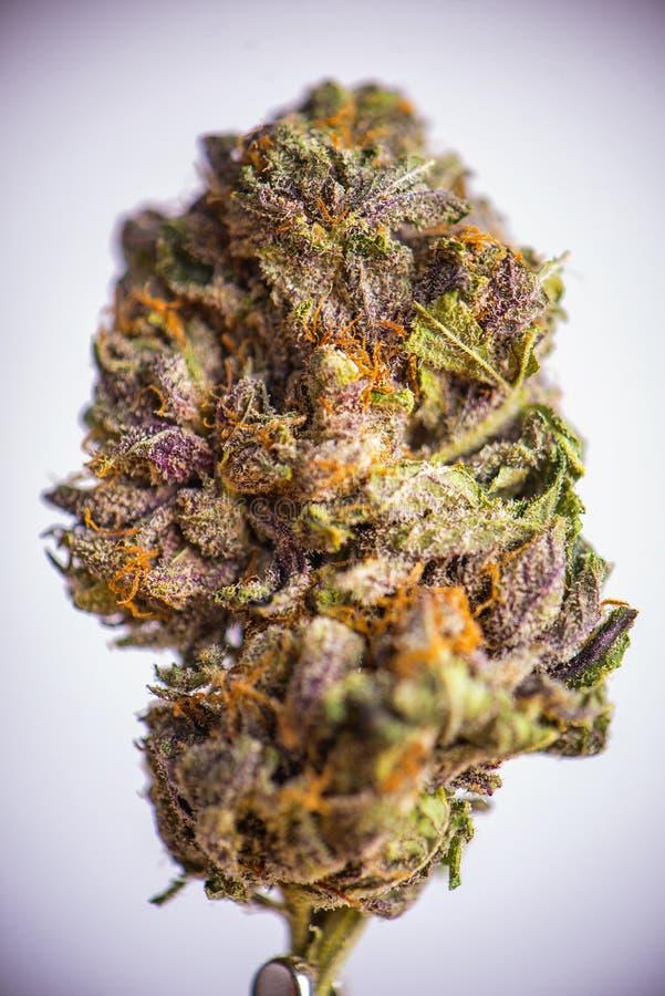 Detalj av den torkade cannabisblomman & x28; grandaddy purpurfärgad strain& x29; isolat royaltyfria bilder
