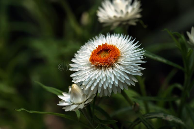 Detalj av den vita eviga blomman eller Strawflower eller gemensam tusensköna & x28; Xerochrysum Bracteatum& x29; med oskarp grön  royaltyfri fotografi