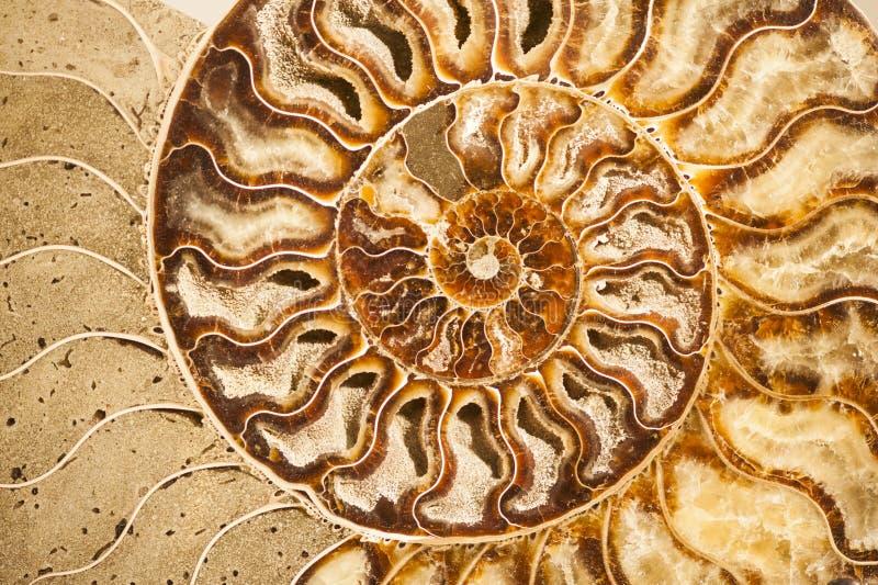 Detalj av det fossil- skalet för ammonit royaltyfria foton