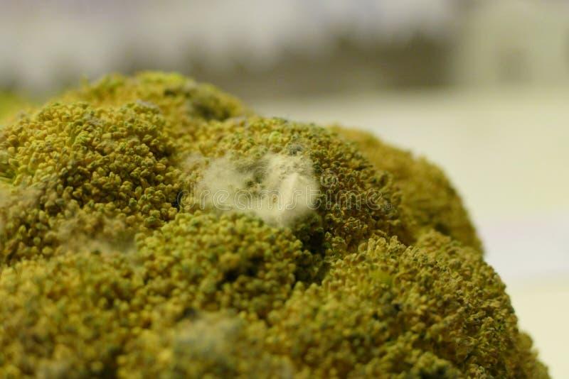 Detalj av en gammal bortskämd brocoli med den vita formen royaltyfria foton