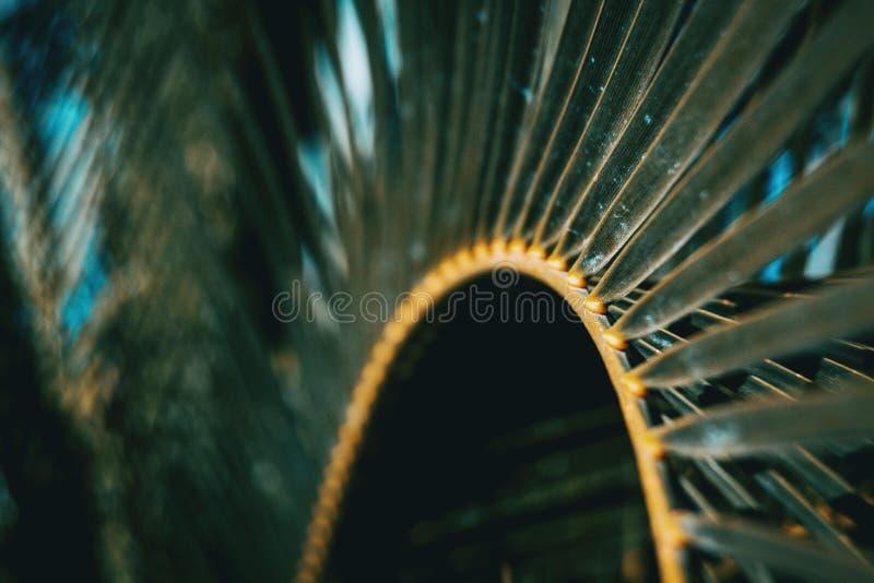 Detalj av ett blad av den phoenix canariensisen royaltyfri foto