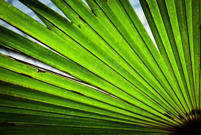 Detalj av ett grönt blad av en palmträd royaltyfria bilder