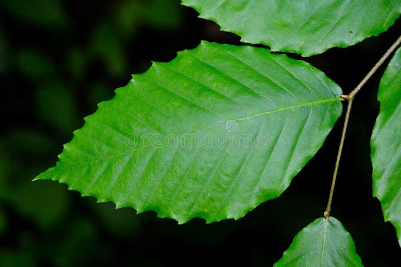 Detalj av ett ljust - grönt blad för amerikansk bokträd royaltyfria foton