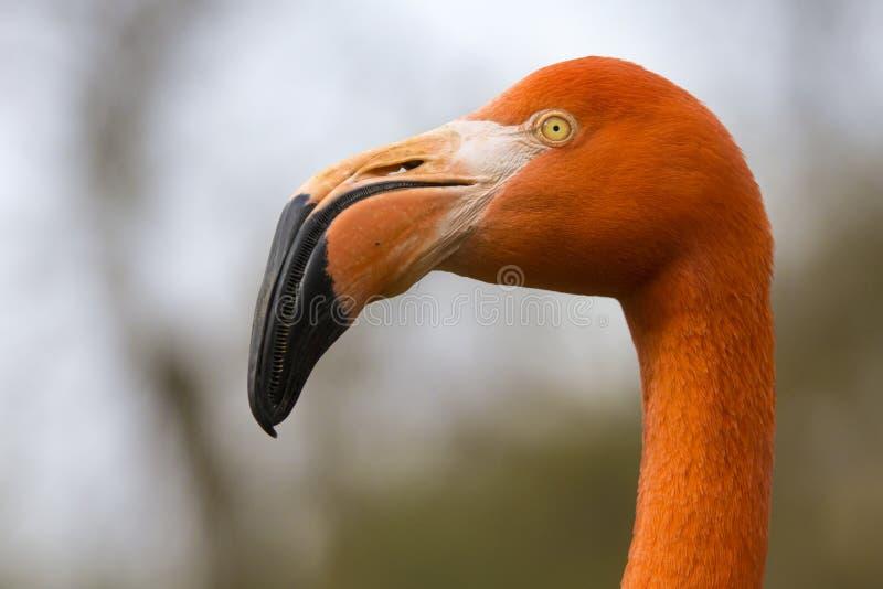Detalj av framsidan av den karibiska flamingo på en molnig dag royaltyfri fotografi