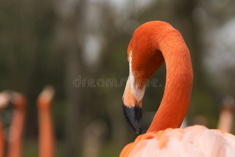 Detalj av framsidan av den karibiska flamingo på en molnig dag royaltyfri foto