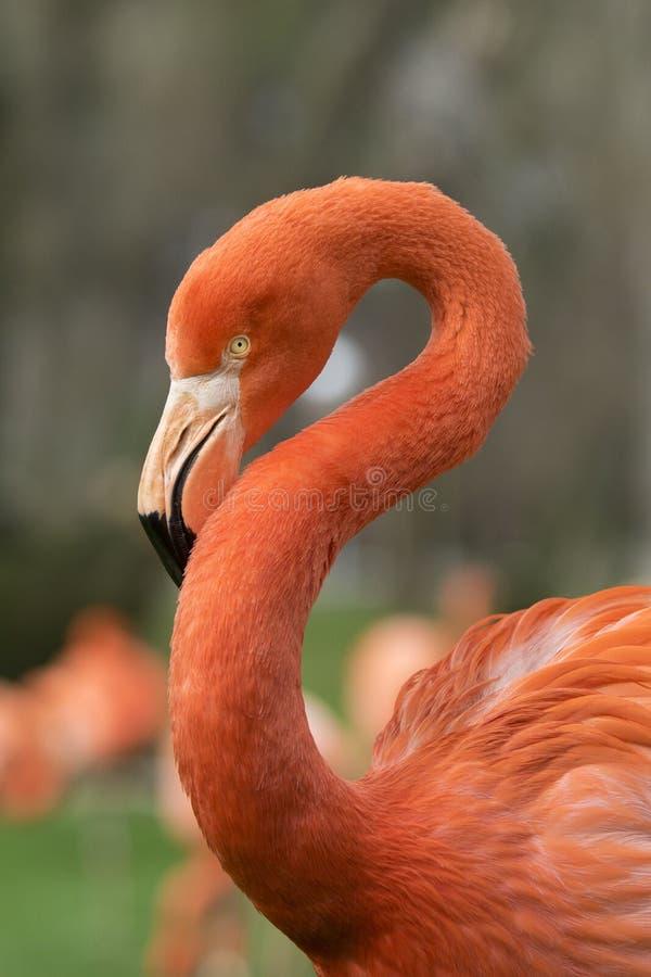 Detalj av framsidan av den karibiska flamingo på en molnig dag arkivfoto