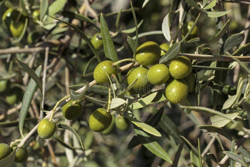 Detalj av frukter i en olivträd arkivbild