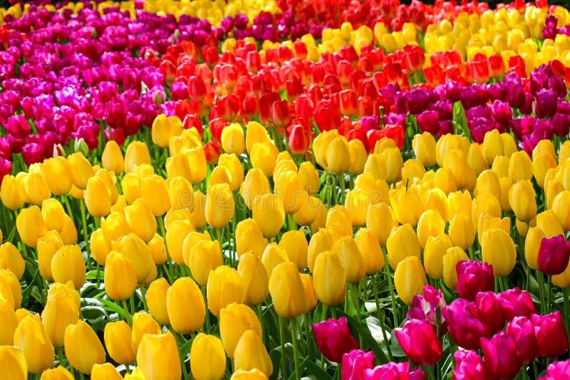 Detalj av härliga färgrika tulpan Blommorna har gula, röda eller rosa färger för förbluffa Underlag av blommor mot barn f?r fj?de royaltyfri fotografi