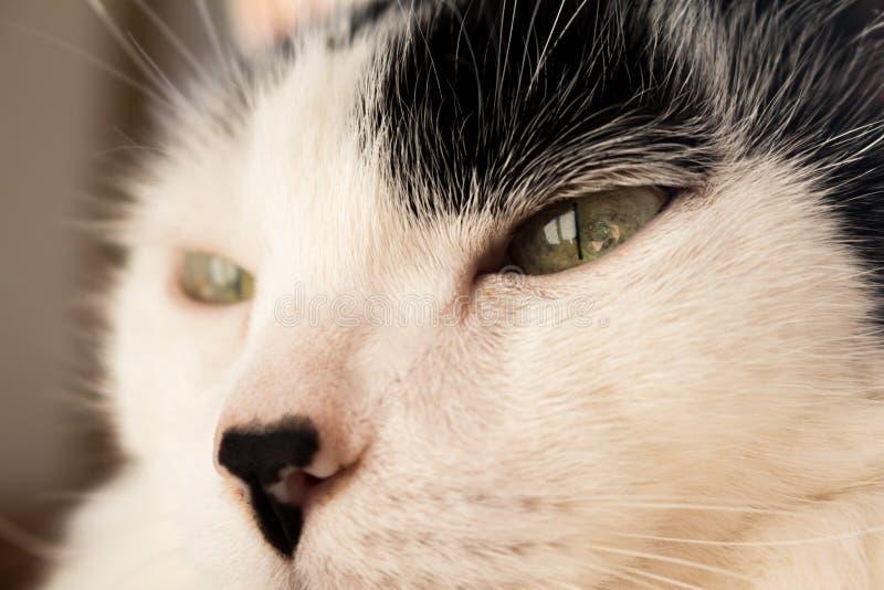 Detalj av katten med gröna ögon arkivbilder