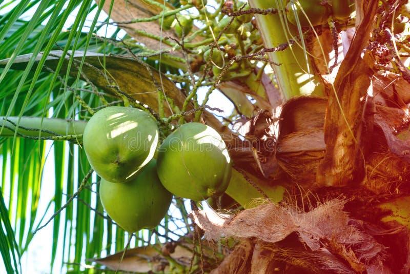 Detalj av kokosnötpalmträd på solig dag i Rio de Janeiro Många gröna kokosnötter hänger bröl de stora sidorna Rio de Janei arkivfoton
