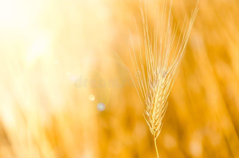 Detalj av korn med trevlig bokehbakgrund royaltyfria foton