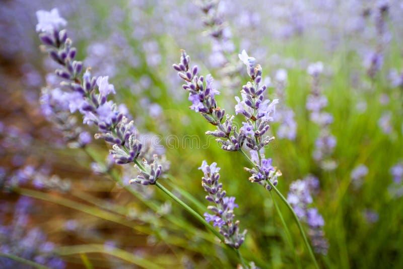 Detalj av lavendel, Provence, Frankrike royaltyfri fotografi