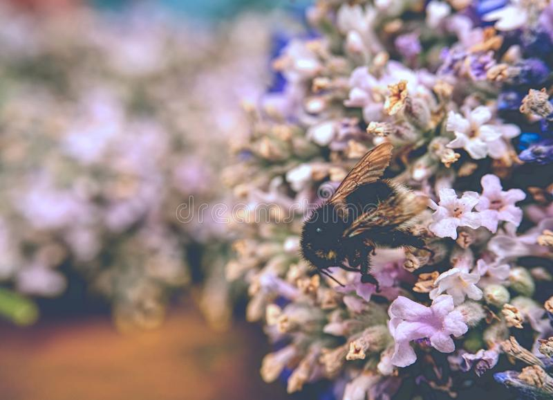 Detalj av lavendelblomman på tabellen med humlan blommar nytt royaltyfria foton