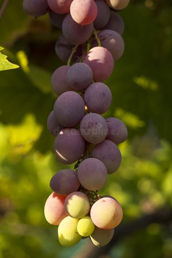 Detalj av röda druvor royaltyfria foton