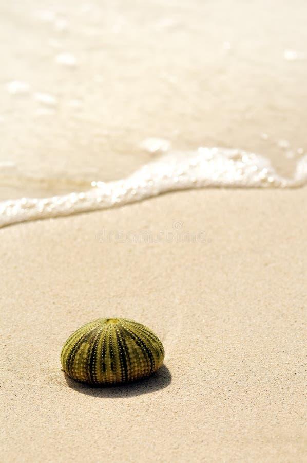 Detalj av snäckskalet i sand Solig dag på den Montego Bay stranden, Jamaica arkivfoto