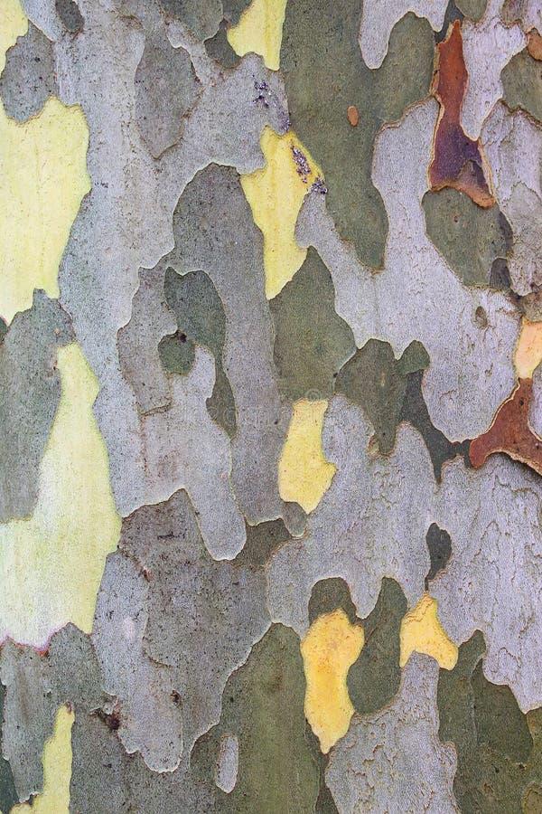 Detalj av sykomorträdstammen arkivfoton