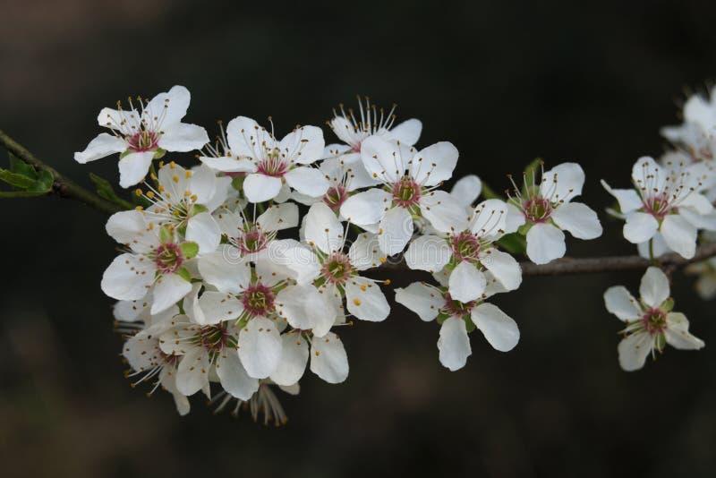 Detalj av trädet för blomningrenklo- eller krikonplommon arkivbilder