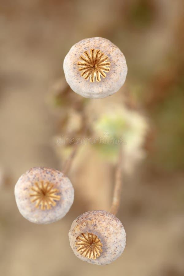 Detalj av trädpoppyheads på fältet royaltyfri bild