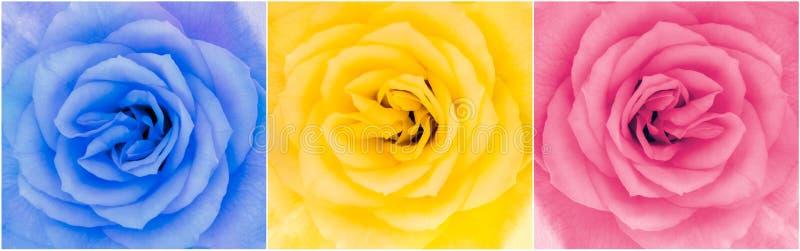 Detalj av tre flerfärgade rosblommor royaltyfri bild