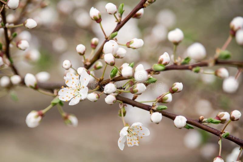 Detalj av vårblomningen av det körsbärsröda trädet arkivfoto