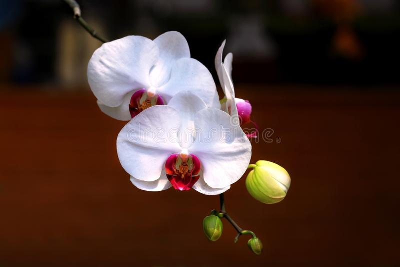 Detalj av vit Phalaenopsis Amabilis för malorkidér med oskarp bakgrund royaltyfri foto