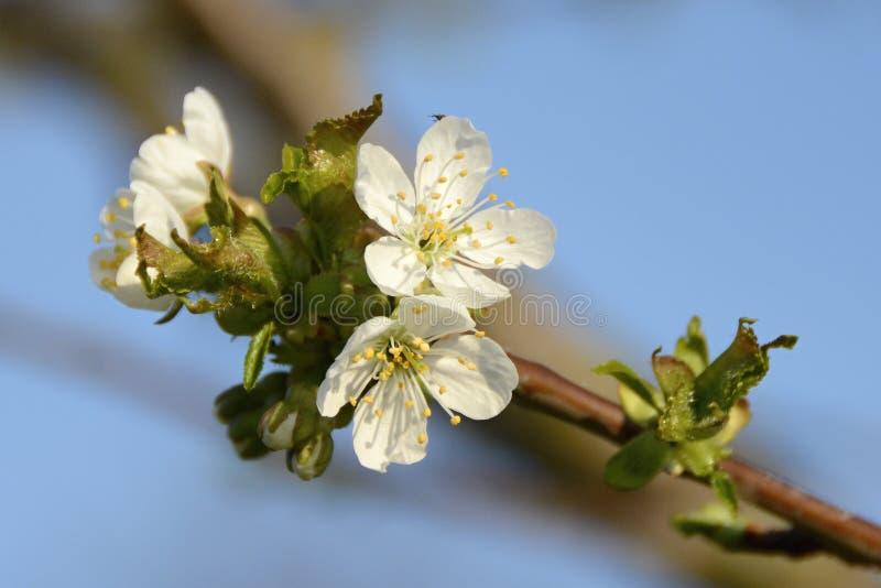 Detalj av vita Cherry Blossom, Tjeckien, Europa royaltyfri fotografi