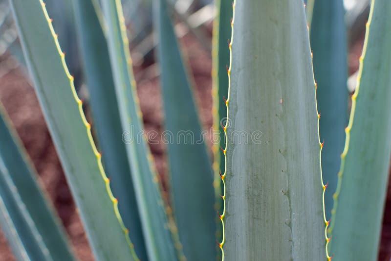 Detalj för Agavetequilanaväxt royaltyfria bilder