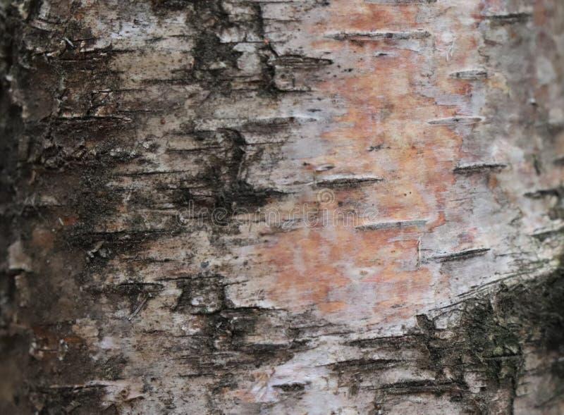 Detalj för björkträdskäll - skogupplaga arkivfoton