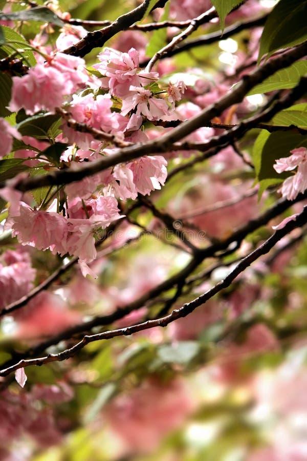 detalj för blomningCherryclear arkivbild