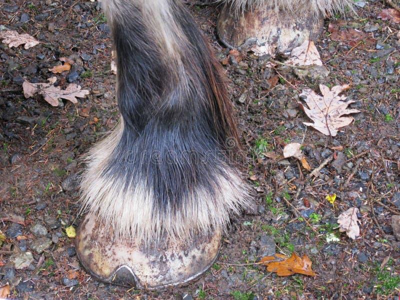 Detalj för kota för grevskaphäst royaltyfri foto
