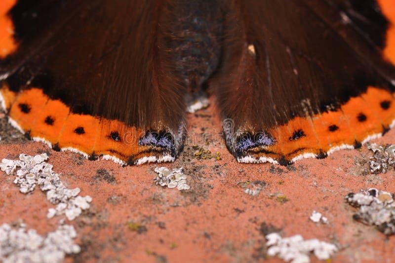 Detalj för röd amiral Butterfly royaltyfri fotografi