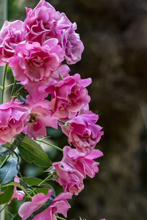 Detalj för rosbuske i den soliga dagen - som är nära upp av rosbusken royaltyfri bild