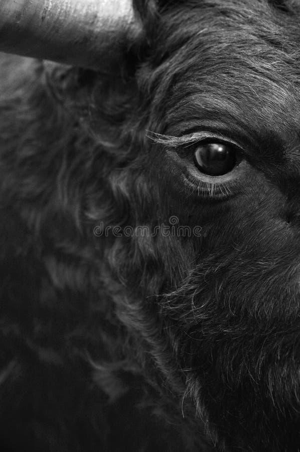 Detalj för stridighettjurhuvud i svartvitt arkivbild
