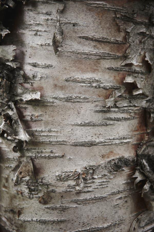 Detalj för träd för skällbokträdstam. royaltyfria foton