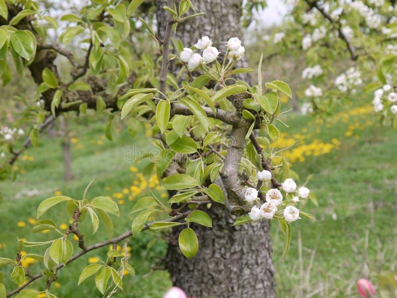 Detaljbänk från ett körsbärsrött träd med den öppna blomningen, suddig bakgrund arkivfoton