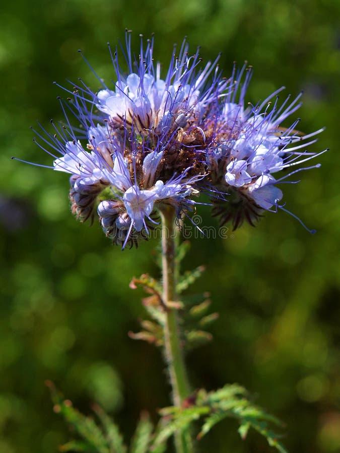 Detaljen av blått blommar den purpurfärgade tansyen i fält i bygd i varm sommardag Den gröna blåa lilan blommar i blomning arkivfoto