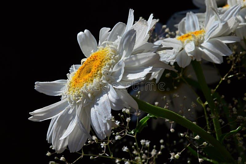 Detaljen av buketten från vita blommor av prästkrageleucanthemumen Vulgare och den lilla hjälparen blommar på svart bakgrund arkivfoton