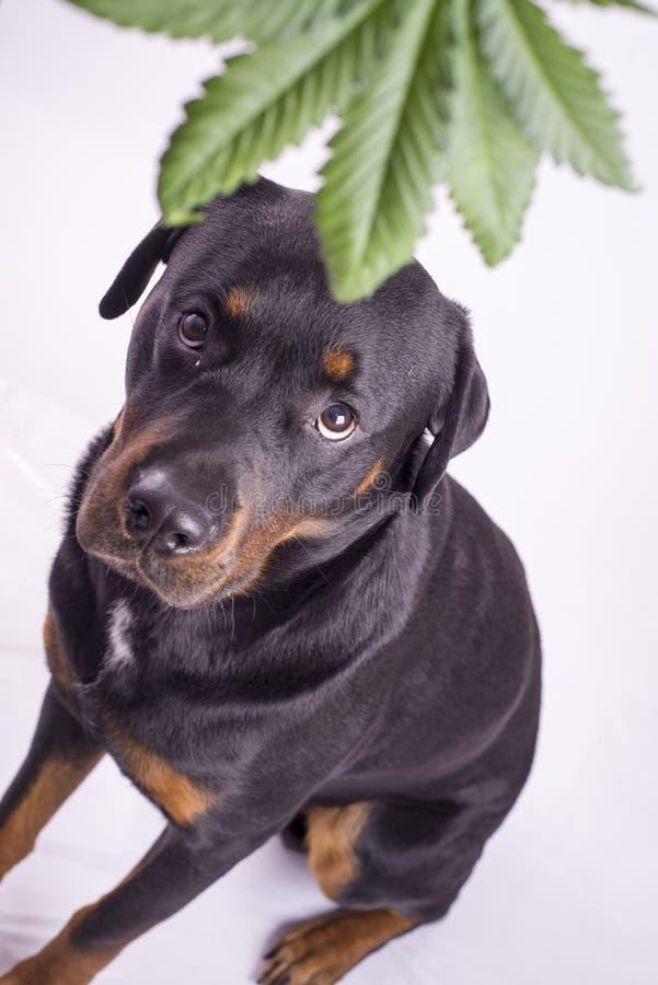 Detaljen av cannabis spricker ut och rottweilerhunden som isoleras över vit arkivbild