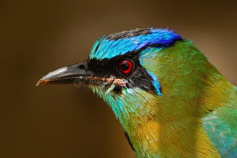 Detaljen av vändkretsfågeln från berget fördunklar skogen Motmot, Momotusbahamensisen, exotiskt fågelsammanträde på filialen, nat royaltyfri fotografi