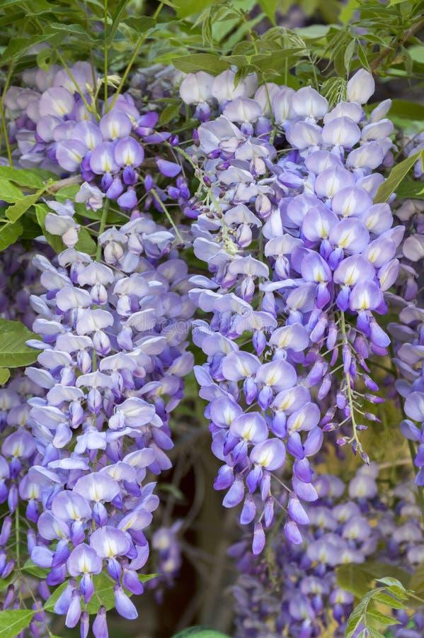 Detaljen av Wisteriafloribundaen blommar druvor, det violetta purpurfärgade blomningträdet för försommar royaltyfria bilder