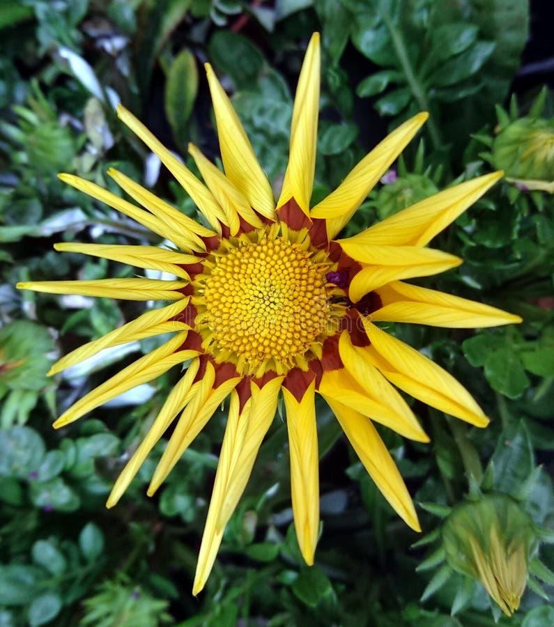 Detaljer av den guling- och bruntrudbeckia- eller Svart-syna-Susan blomman Huvud som är blackeyedsusan arkivfoto