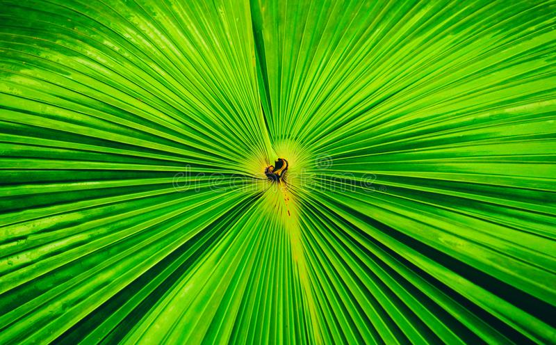 Detaljer av den stora gröna palmträdet spricker, stänger sig upp ut av bladtextur b royaltyfri fotografi