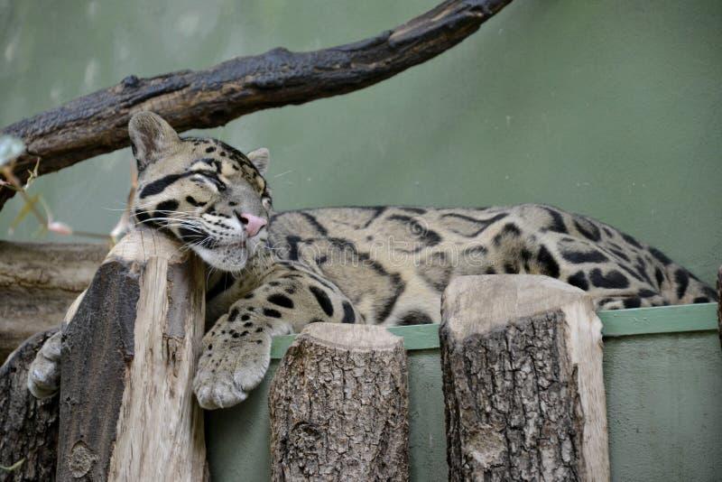 Detaljer av en lös fördunklad leopard royaltyfri bild