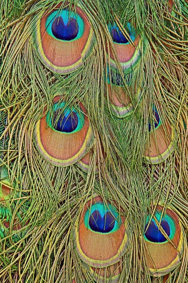 Detaljer av en påfågelsvans med fjäderögon i genomdränkta deppigheter och gräsplaner fotografering för bildbyråer