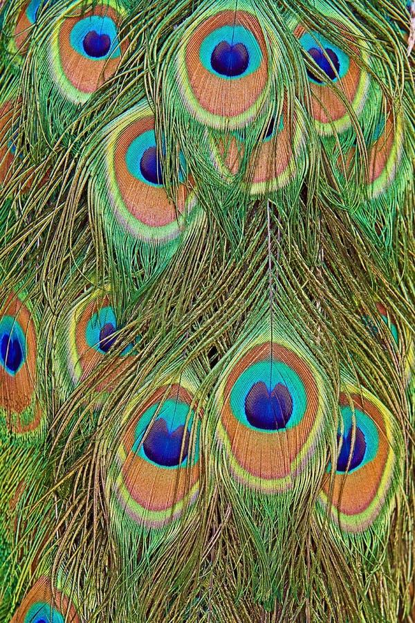 Detaljer av en påfågelsvans med fjäderögon i genomdränkta deppigheter och gräsplaner royaltyfri bild
