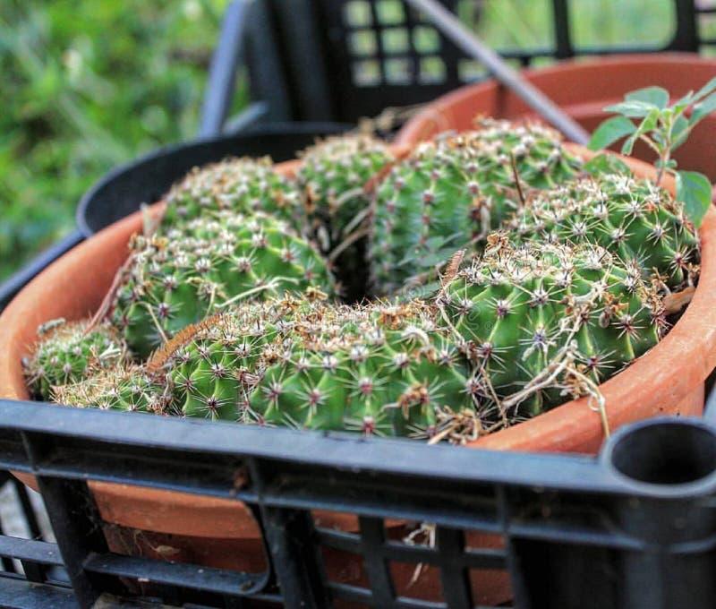 Detaljer av kaktuns royaltyfri bild