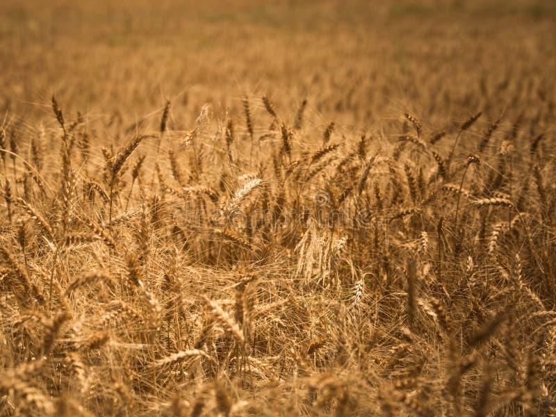 Detaljer av vetefältet royaltyfria foton